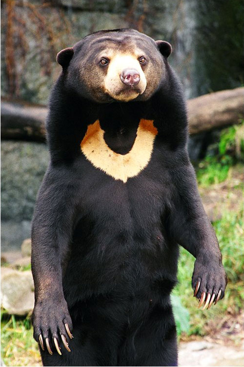 sun-bear