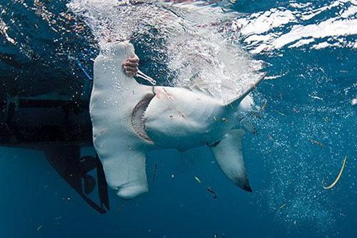 catch-and-release-hammerhead-shark