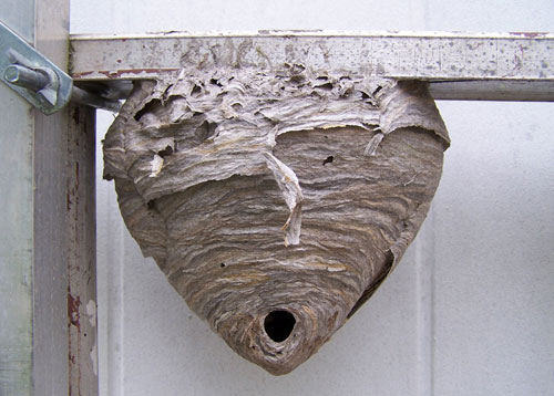 sex-with-hornets-nest