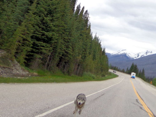 wolf-chasing-motorcyclist-british-columbia
