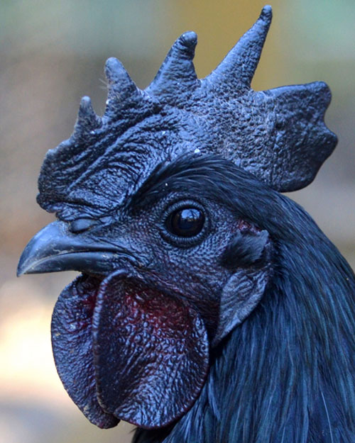 Ayam-Cemani-black-chicken-indonesia-cock