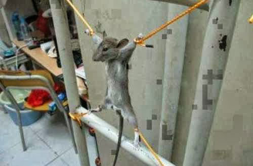 mouse-torture-strung-up-mouse-palestine