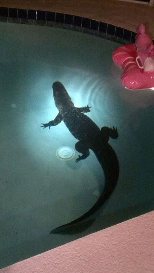 gator-in-pool