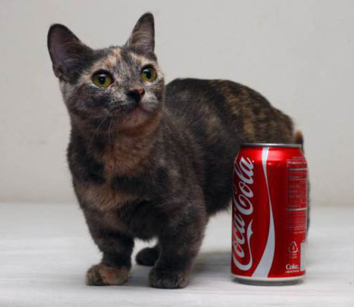 pixel-smallest-cat-in-the-world