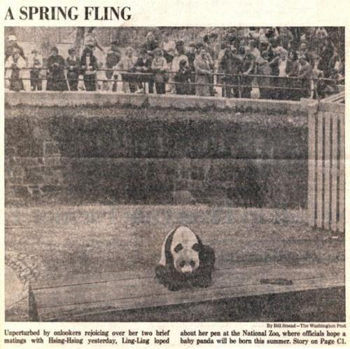 spring-fling-Ling-Ling-and-Hsing-Hsing-nixon-panda-sex