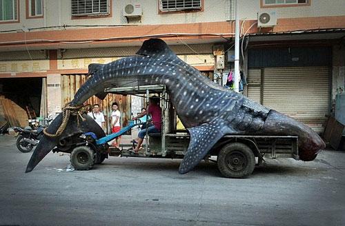 china-whale-shark