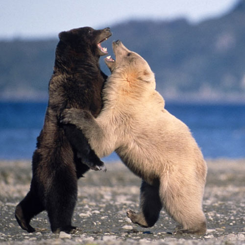 polar-bear-grizzly