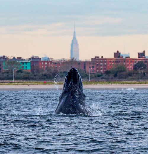 whales-in-NYC
