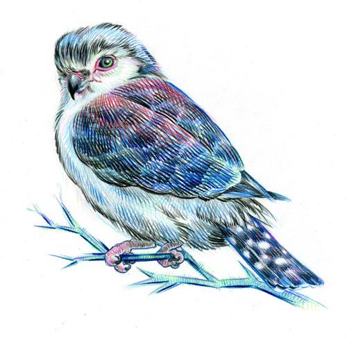 pygmy-falcon