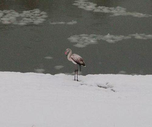 flamingo-frostbitten