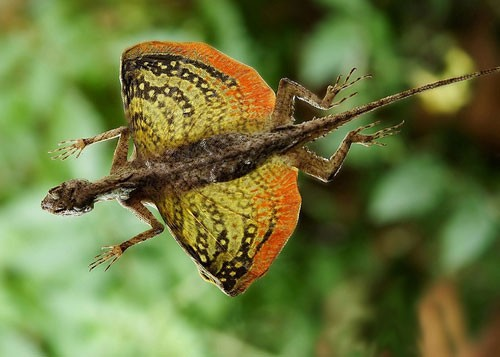 flying-lizard