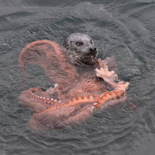octopus-vs-seal-2