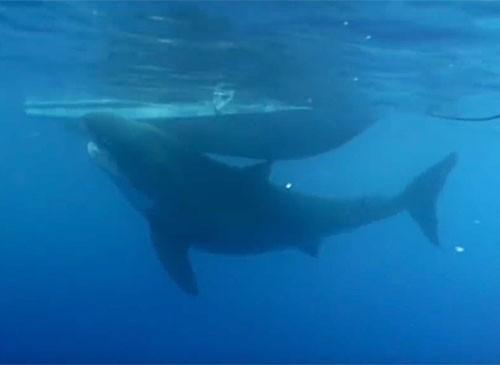 deep-blue-giant-shark-discovery