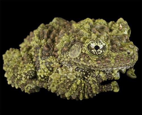 nug-toad