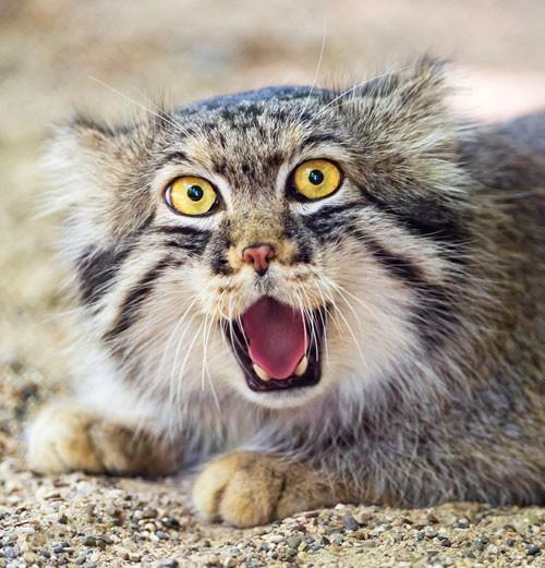 domesticated-cat