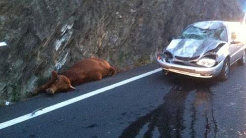 falling-cow