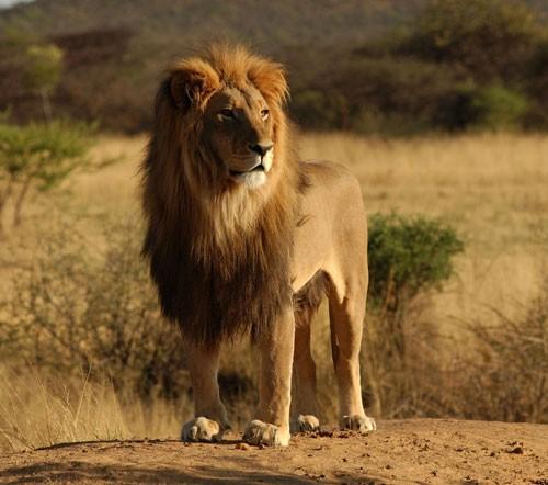 African-Lion-endangered