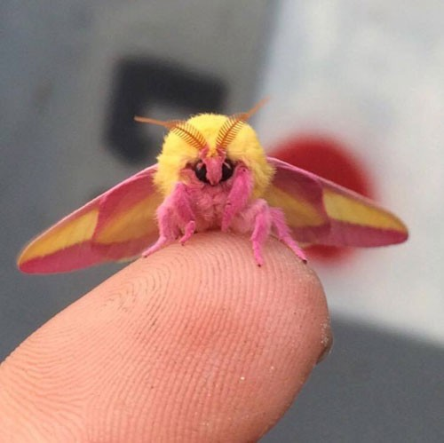 rosy-maple-moth-2