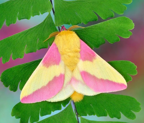rosy-maple-moth-3