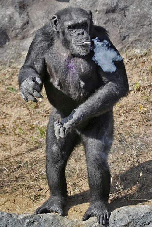 north-korea-smoking-chimp