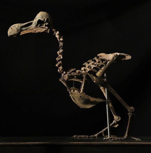 dodo-bird-skeleton